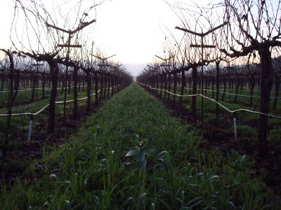 'Cover Crops Between Vine Rows'