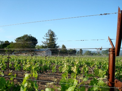 'Rows of Young Vines'